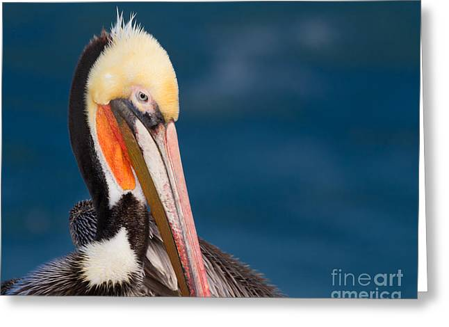 Pensive Pelican Greeting Card by Dale Nelson