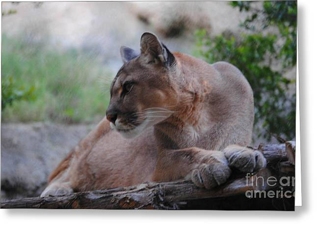 Pensive Puma Greeting Card by DiDi Higginbotham