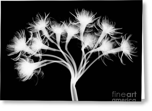Pentaster Blossom X-ray Greeting Card by Bert Myers
