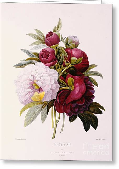 Color Green Greeting Cards - Peonies engraved by Prevost Greeting Card by Pierre Joseph Redoute