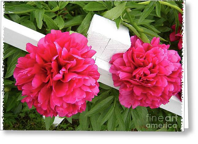 Flowers On A Fence Greeting Cards - Peonies Resting on White Fence Greeting Card by Barbara Griffin
