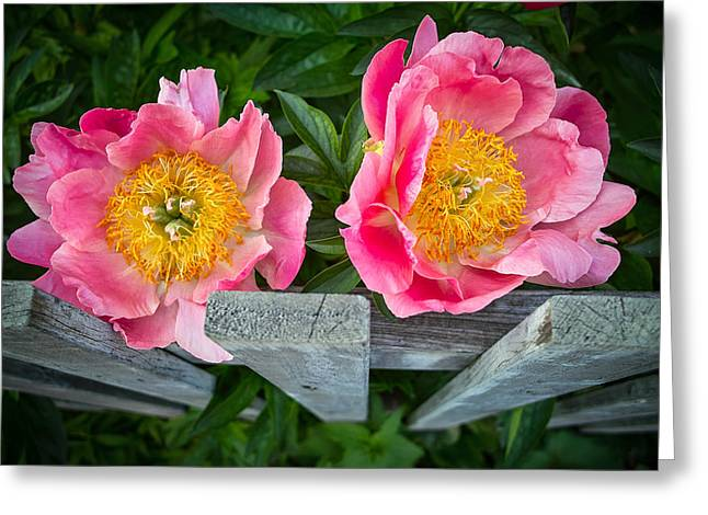 Flowers On A Fence Greeting Cards - Peonise Friends Greeting Card by Ovi Berg