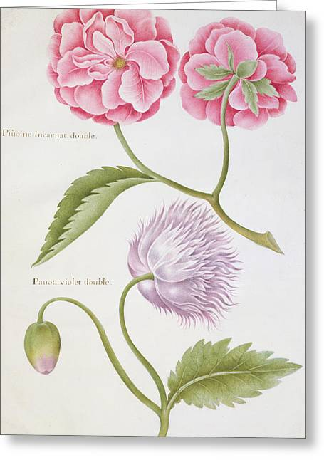 Labelled Greeting Cards - Peony and Double Poppy Greeting Card by Nicolas Robert