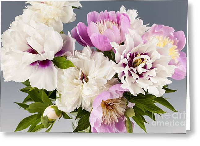 Grey Background Greeting Cards - Peony flower bouquet Greeting Card by Elena Elisseeva