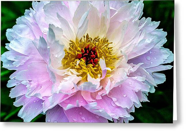 Flowers Posters Greeting Cards - Peony Flower Greeting Card by Edward Fielding