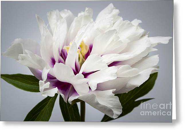 Grey Background Greeting Cards - Peony flower Greeting Card by Elena Elisseeva