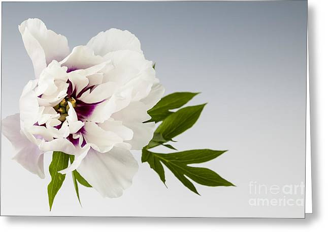 From Above Greeting Cards - Peony flower on gray Greeting Card by Elena Elisseeva