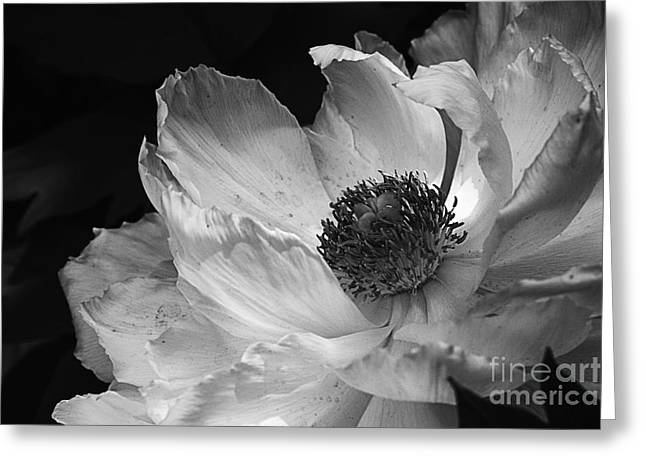 Staging Art Greeting Cards - Peony Glory Greeting Card by Terry Rowe