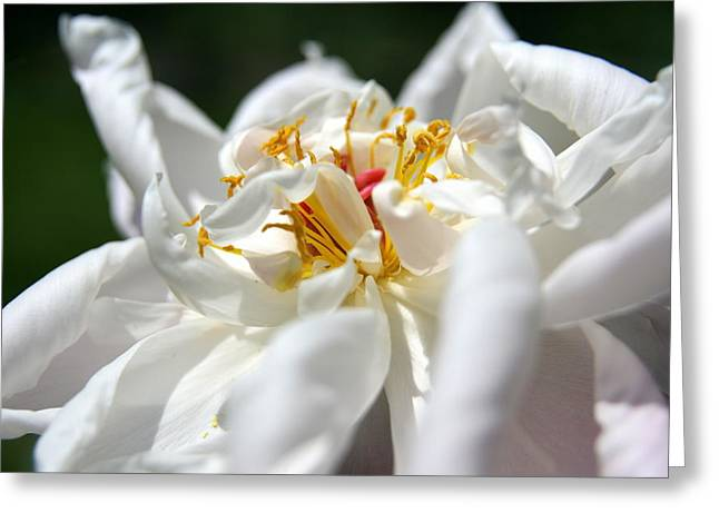 Wildflower Photos Greeting Cards - Peony Harmony Greeting Card by Neal  Eslinger