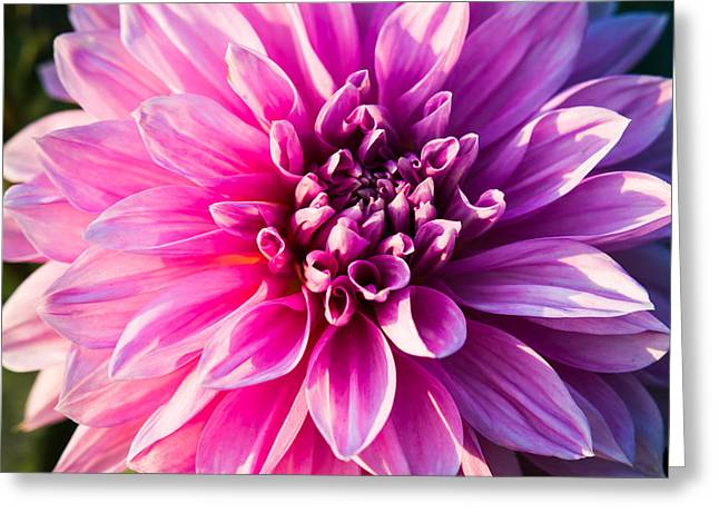 Indiana Flowers Greeting Cards - Peony In Bloom Greeting Card by Alexander Senin