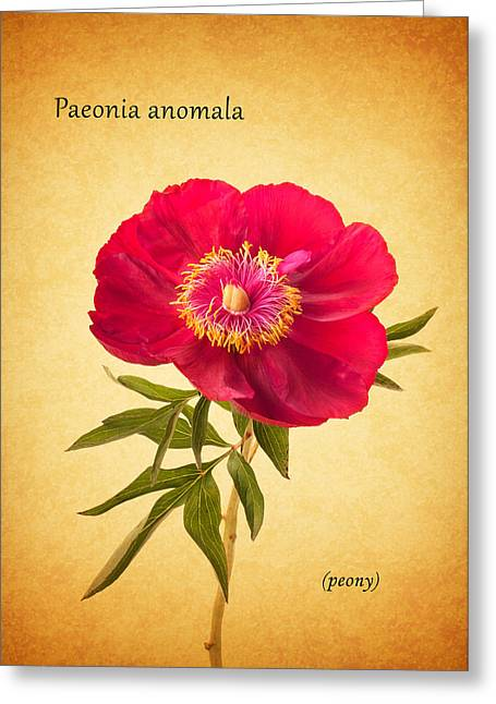 Botany Greeting Cards - Peony Greeting Card by Mark Rogan