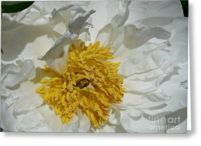 Peony Perfection Greeting Card by Avis  Noelle