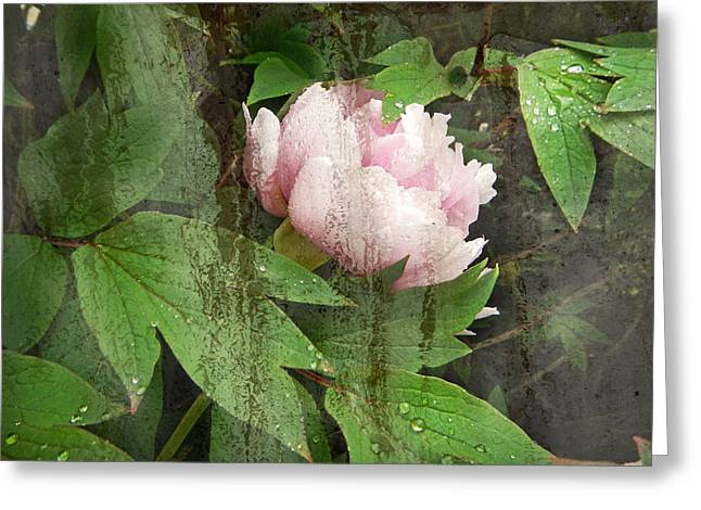Renata Vogl Greeting Cards - Peony Greeting Card by Renata Vogl
