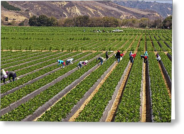 People Picking Strawberries In A Field Greeting Card by Panoramic Images
