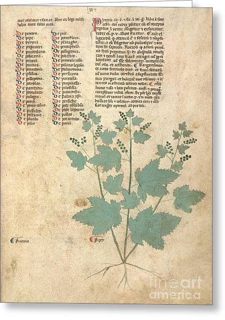 1300s Greeting Cards - Pepper Plant, 13th-century Herbal Greeting Card by British Library