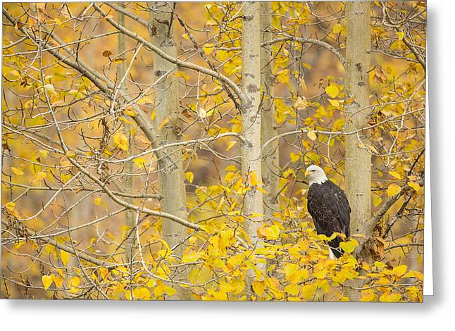 Haliaeetus Leucocephalus Greeting Cards - Perched in the Colors of Autumn Greeting Card by Tim Grams