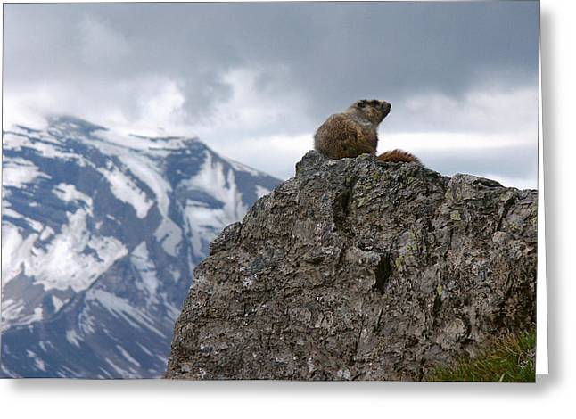 Lonesomeness Greeting Cards - Perched Marmot Greeting Card by Gene Tewksbury