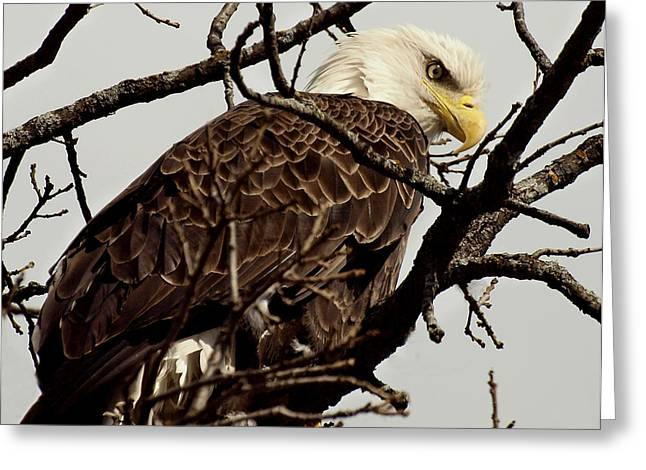 Eagle Greeting Cards - Perched On High Greeting Card by Thomas Young