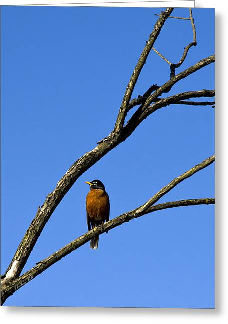 American Robin Greeting Cards - Perched Robin Turdus Migratorius Greeting Card by Christina Rollo