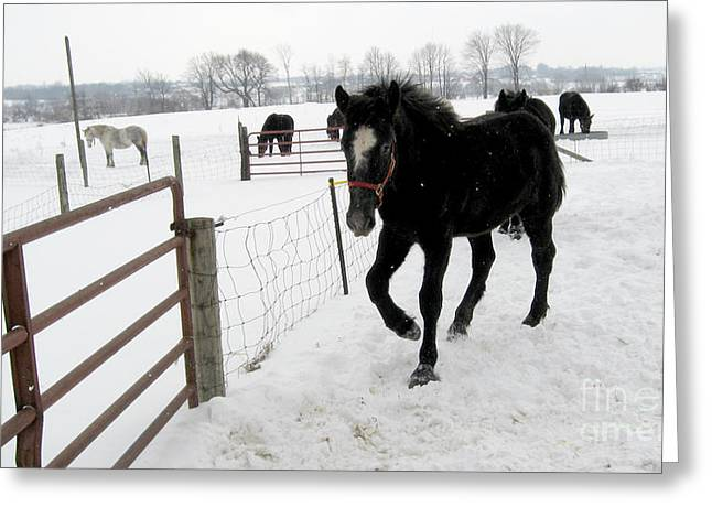 Snowy Day Greeting Cards - Percheron Horse Colt in Snow Greeting Card by Conni Schaftenaar Elderberry Blossom Art