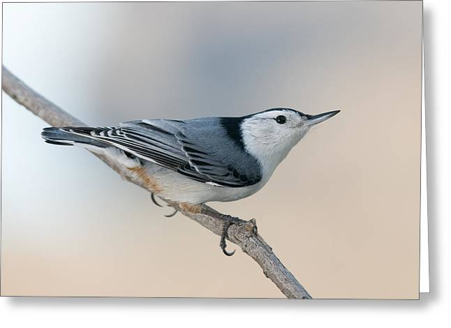 Bokhe Greeting Cards - Perching Nuthatch Greeting Card by Lara Ellis