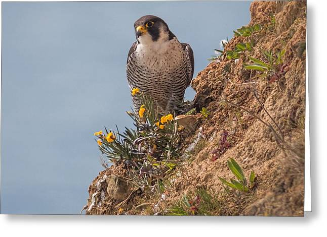 Perefrine Falcon Greeting Card by Ian Hufton