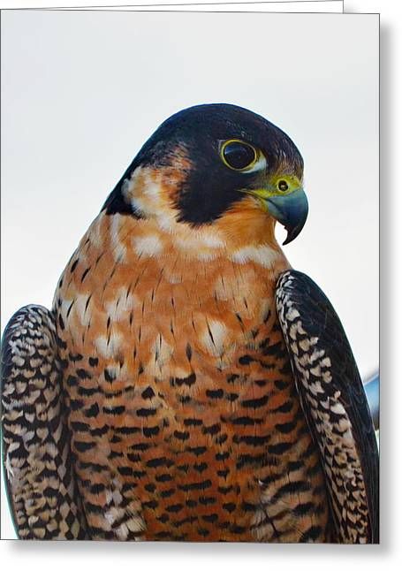 Annie Pflueger Greeting Cards - Peregrine Falcon Greeting Card by Annie Pflueger