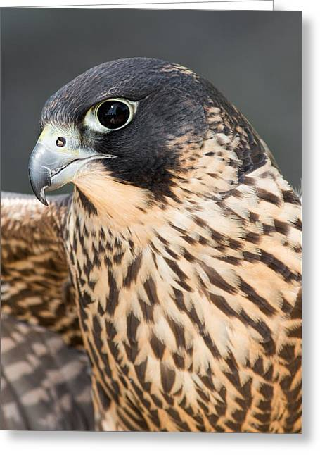 Peregrine Falcon Greeting Cards - Peregrine Falcon Greeting Card by Dale Kincaid
