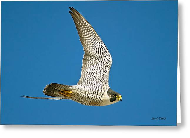 D700 Greeting Cards - Peregrine Falcon Fly-By Greeting Card by Stephen  Johnson