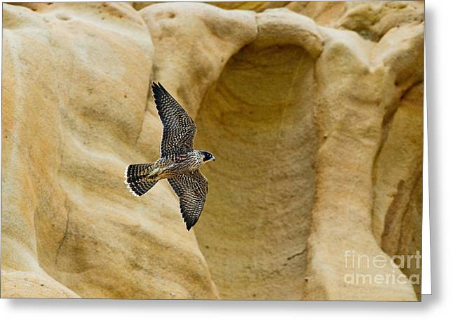 Soaring Falcon Greeting Cards - Peregrine Falcon Flying By Cliff Greeting Card by Anthony Mercieca