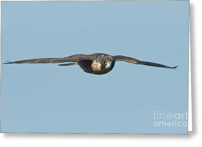 Soaring Falcon Greeting Cards - Peregrine Falcon Juvenile Greeting Card by Anthony Mercieca