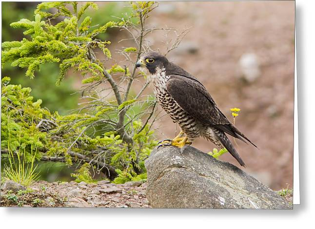 Alert Bay Greeting Cards - Peregrine Falcon Greeting Card by Mircea Costina Photography