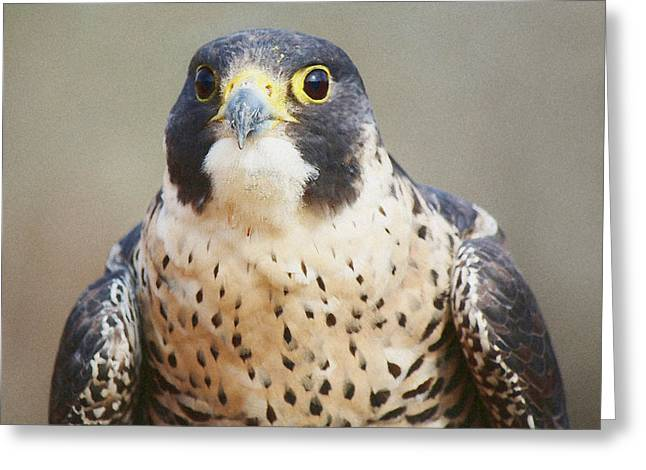 Paulette Thomas Greeting Cards - Peregrine Falcon Greeting Card by Paulette Thomas