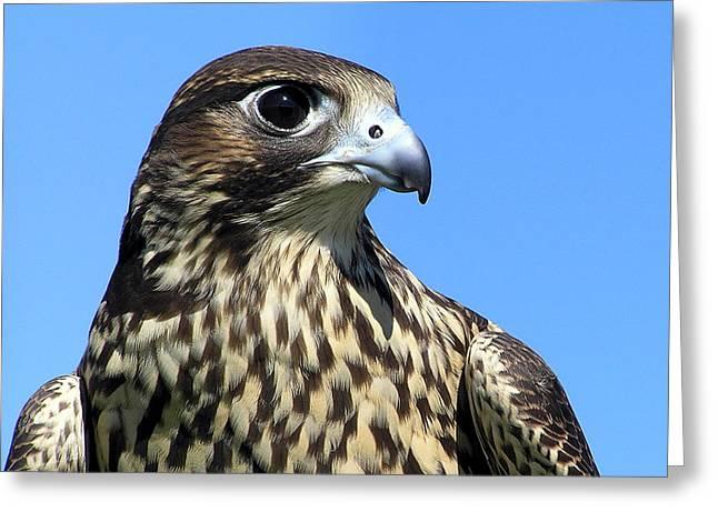 Peregrine Falcon Greeting Cards - Peregrine Falcon Pride Greeting Card by Christina Rollo