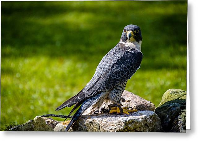 Nature Center Greeting Cards - Peregrine Falcon Greeting Card by Randy Scherkenbach
