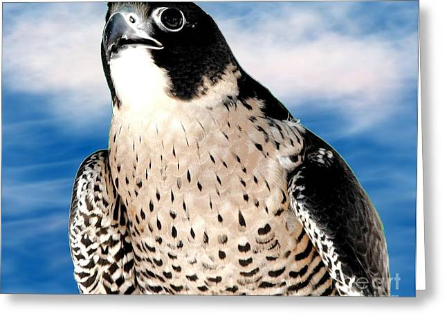 Hawk Creek Greeting Cards - Peregrine Falcon Greeting Card by Rose Santuci-Sofranko