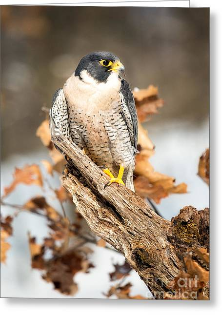 Winter Photos Greeting Cards - Peregrine Falcon Greeting Card by Todd Bielby