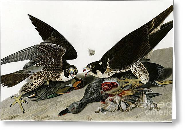 Wild Life Drawings Greeting Cards - Peregrine Falcons  Greeting Card by Celestial Images