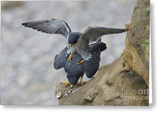 Mounting Greeting Cards - Peregrine Falcons Mating Greeting Card by Anthony Mercieca