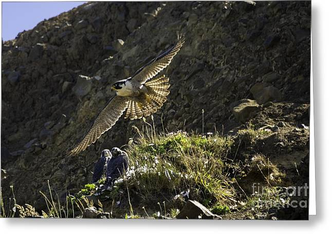 Tim Moore Greeting Cards - Peregrine Flight Training Greeting Card by Tim Moore
