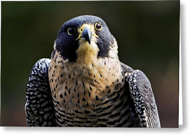 Majestic Falcon Greeting Cards - Peregrine Focus Greeting Card by Mary Jo Allen