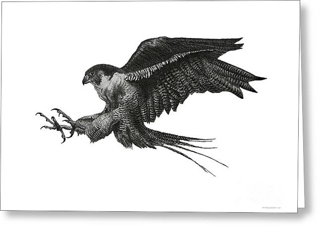 Flying Animal Drawings Greeting Cards - Peregrine Hawk or Falcon Black and White with Pen and Ink Drawing Greeting Card by Mario  Perez