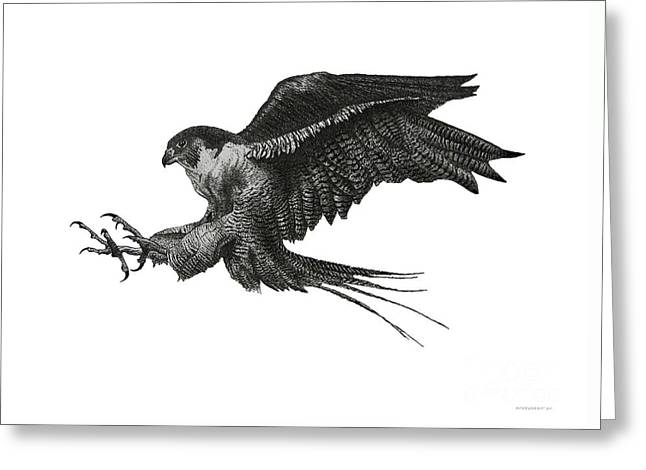 Hunting Bird Greeting Cards - Peregrine Hawk or Falcon Black and White with Pen and Ink Drawing Greeting Card by Mario  Perez