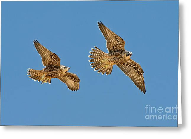 Soaring Falcon Greeting Cards - Peregrine Siblings Chasing Each Other Greeting Card by Anthony Mercieca