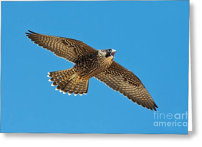 Soaring Falcon Greeting Cards - Peregrine Young Screaming For Food Greeting Card by Anthony Mercieca