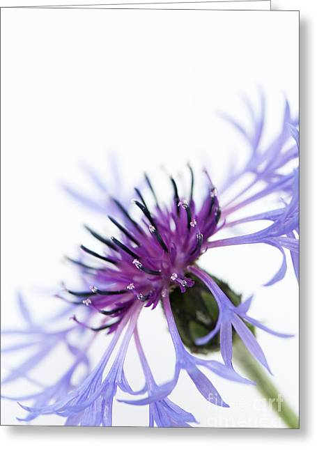Perennial Cornflower Greeting Card by Anne Gilbert