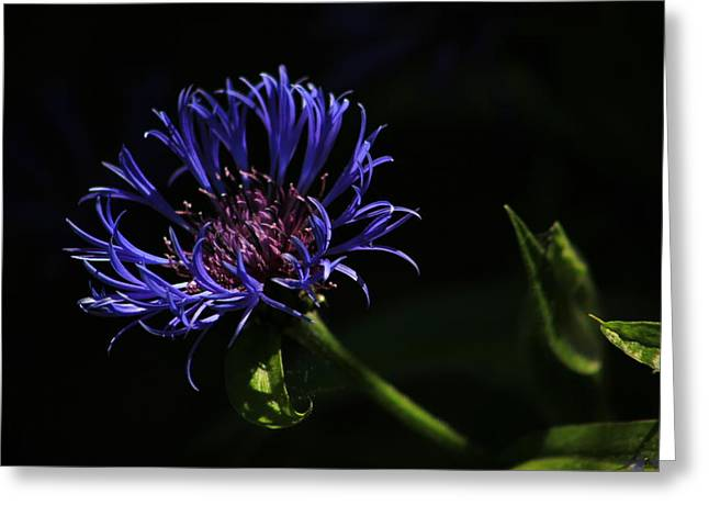 Centaurea Montana Greeting Cards - Perennial cornflower Greeting Card by Turnip Towers