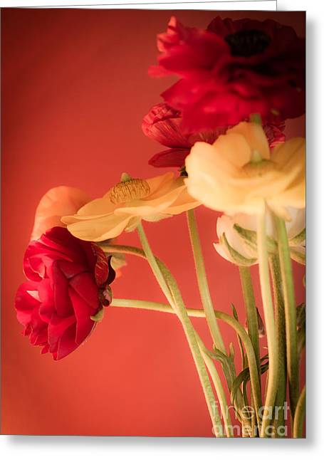 Ranunculus Greeting Cards - Perfctly Poised Greeting Card by Jan Bickerton