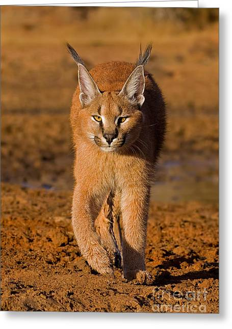 Compelling Greeting Cards - Perfect Composure Greeting Card by Ashley Vincent