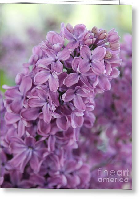 Gentle Petals Greeting Cards - Perfect Lilac Greeting Card by Jasna Buncic